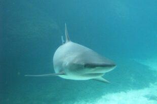 Haitourismus 310x205 - Haitourismus: Schutzgebieten für Haie gefordert
