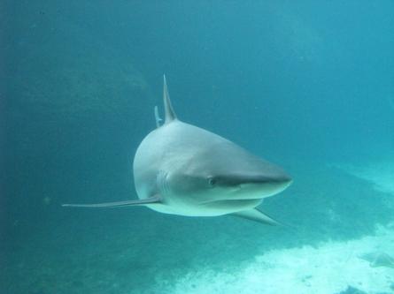 Bild von Haitourismus: Schutzgebieten für Haie gefordert