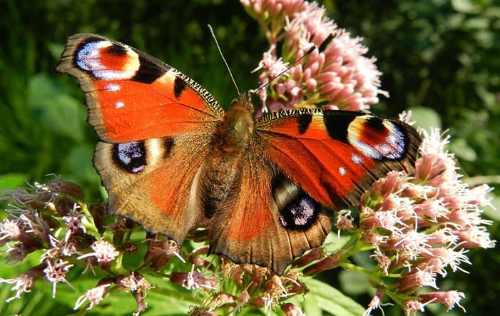 Photo of TU München: Schmetterlinge sterben trotz Naturschutz aus