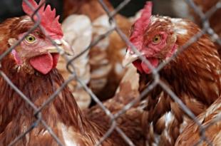 Vogelgrippe 310x205 - Vogelgrippe: Geflügelwirtschaft fordert bundesweite Stallpflicht
