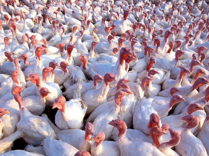 Bild von Vogelgrippe: Schleswig-Holstein verhängt Stallpflicht für Geflügel