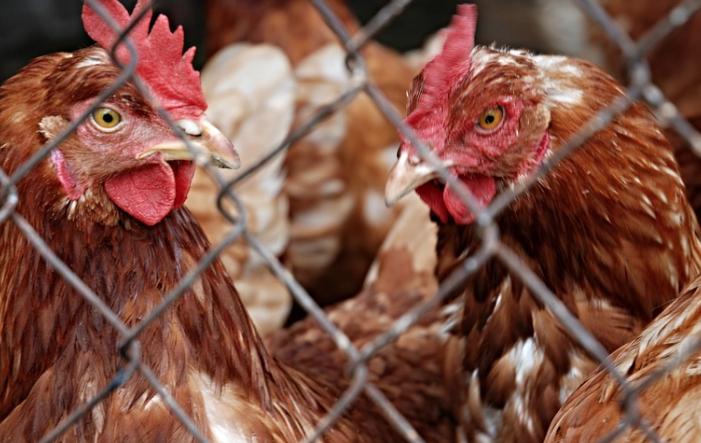 Bild von Vogelgrippe: Geflügelwirtschaft fordert bundesweite Stallpflicht