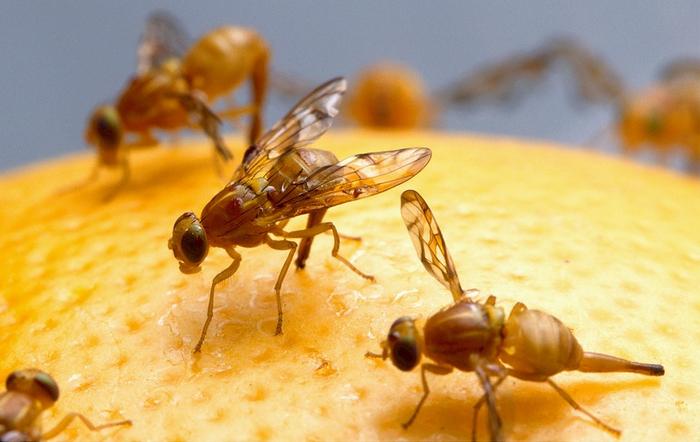 Photo of Fruchtfliegen: So wird man die kleinen, lästigen Biester los