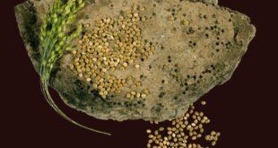 Hirse 310x165 - Als Hirse auf den Speiseplan des Menschen kam