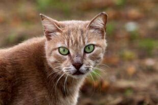 sachsen anhalt bereitet kastrationspflicht fuer katzen vor 310x205 - Sachsen-Anhalt bereitet Kastrationspflicht für Katzen vor