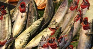 greenpeace warnt vor gentechnik im fisch 310x165 - Greenpeace warnt vor Gentechnik im Fisch