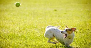 Hund spielt mit Ball 310x165 - Versicherungen für den Hund: Welche sind sinnvoll, welche nicht?