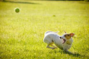 Hund spielt mit Ball 310x205 - Versicherungen für den Hund: Welche sind sinnvoll, welche nicht?