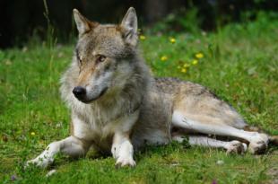 Wolf 310x205 - Deutscher Jagverband fordert Rechtssicherheit beim Wolfs-Management