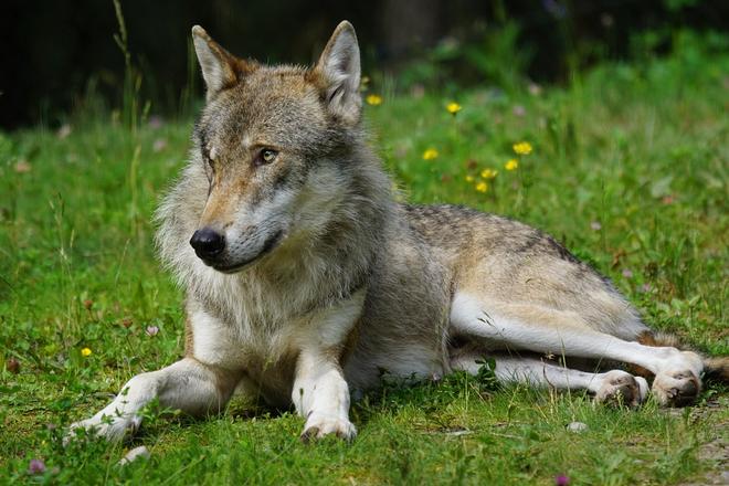 Photo of Wölfe können leichter abgeschossen werden