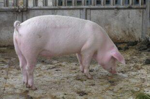 institut risiko der afrikanischen schweinepest besteht jederzeit 310x205 - Institut: Risiko der Afrikanischen Schweinepest besteht jederzeit