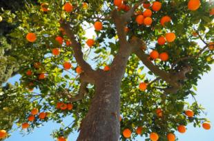 Orangenbaum 310x205 - Agrikultur - passives Einkommen als Plantagenbesitzer