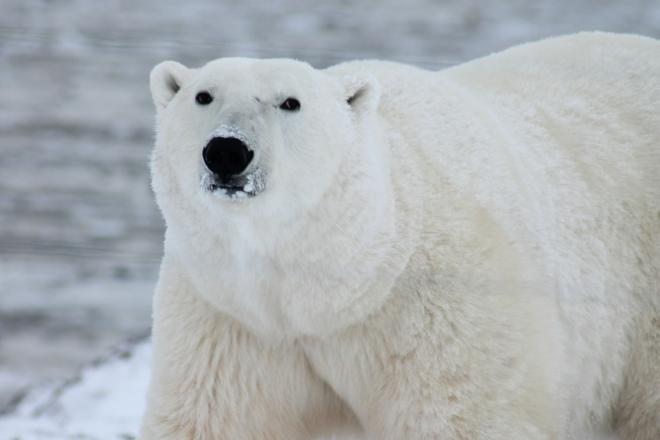 Eisbaer - Die Arktis - faszinierender Lebensraum für Pflanzen, Tiere und Menschen