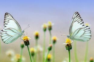 Schmetterlinge 310x205 - Niedersachsen drohen wegen Versäumnissen bei Natura 2000 EU-Strafen