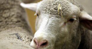 1.300 Nutztiere in Norddeutschland seit 2015 durch Wölfe getötet 310x165 - 1.300 Nutztiere in Norddeutschland seit 2015 durch Wölfe getötet