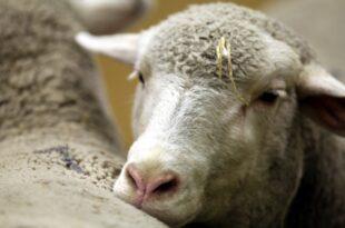 EU will Wolfsschaden an Schafherden erstatten 310x205 - EU will Wolfsschaden an Schafherden erstatten