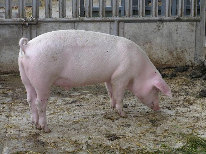 Taeglich verenden 37.000 Schweine - Täglich verenden 37.000 Schweine