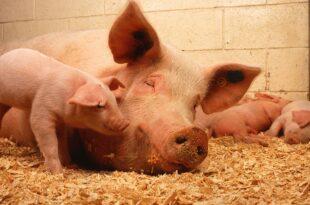 Sachsen Anhalt will Regeln fuer Schweinehaltung verschaerfen 310x205 - Sachsen-Anhalt will Regeln für Schweinehaltung verschärfen
