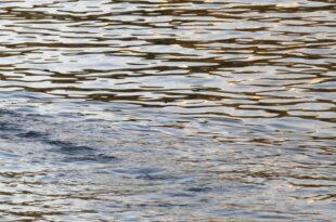 Gewässerökologe Baden in der Elbe kann gefährlich werden 310x205 - Gewässerökologe: Baden in der Elbe kann gefährlich werden