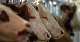 Tierwohllabel Verbraucherschuetzer stellen sich hinter Kloeckner 310x165 - Tierwohllabel: Verbraucherschützer stellen sich hinter Klöckner
