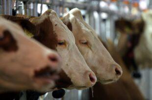 Tierwohllabel Verbraucherschuetzer stellen sich hinter Kloeckner 310x205 - Tierwohllabel: Verbraucherschützer stellen sich hinter Klöckner
