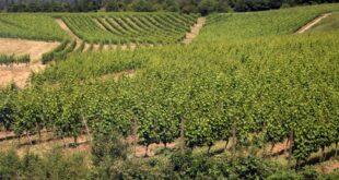 Weinerzeugung im Jahr 2018 deutlich gestiegen 310x165 - Weinerzeugung im Jahr 2018 deutlich gestiegen