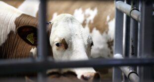 Grüne fordern Reduzierung der Nutztierhaltung 310x165 - Grüne fordern Reduzierung der Nutztierhaltung