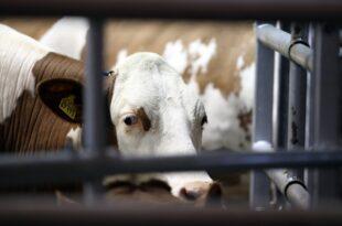 Grüne fordern Reduzierung der Nutztierhaltung 310x205 - Grüne fordern Reduzierung der Nutztierhaltung