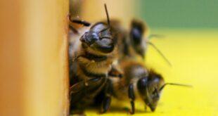 Jede zweite Insektenart schrumpft 310x165 - Jede zweite Insektenart schrumpft