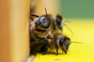 Jede zweite Insektenart schrumpft 310x205 - Jede zweite Insektenart schrumpft