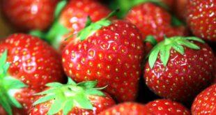 Landwirte entsorgen 10 bis 15 Prozent der essbaren Erdbeeren 310x165 - Landwirte entsorgen 10 bis 15 Prozent der essbaren Erdbeeren