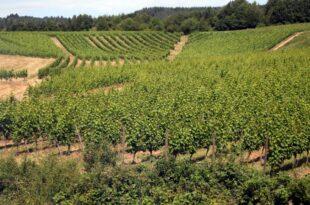 Geringere Weinernte erwartet 310x205 - Geringere Weinernte erwartet