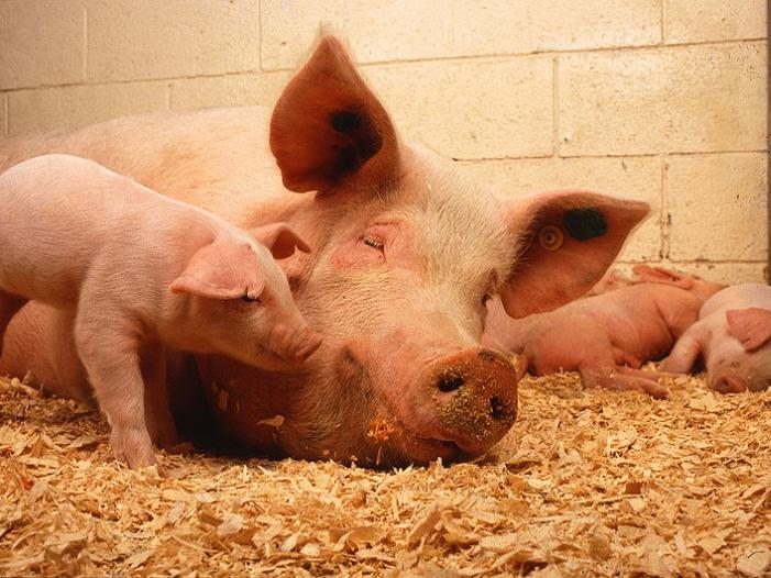 Bild von Tierschutzverbände kritisieren geplante Reformen in Schweinehaltung